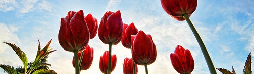 tulipcrop